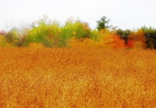 Campo de soja dorada